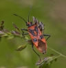 Corizus hyoscyami 2 Copyright: Graham Ekins