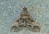 Duponchelia fovealis 3 Copyright: Graham Ekins