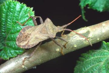 Coreus marginatus Copyright: Peter Harvey