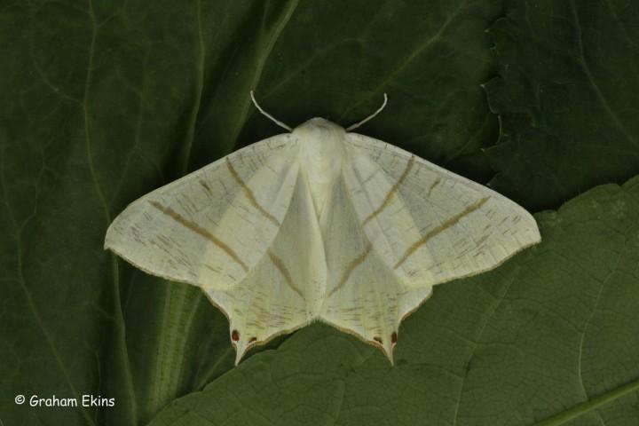 Swallow-tailed Moth  Ourapteryx sambucaria Copyright: Graham Ekins