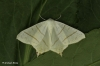Swallow-tailed Moth  Ourapteryx sambucaria Copyright: Graham Ekins