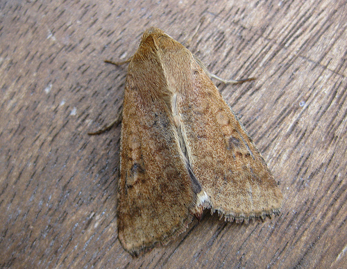 Scarce Bordered Straw. Copyright: Stephen Rolls
