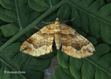Pelurga comitata dark Spinach 1 Copyright: Graham Ekins