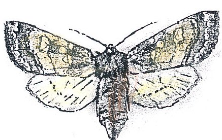 moth species pages
