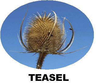 Record Wild Teasel