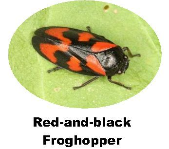 Record Red-and-Black Froghopper