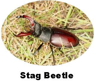 Record Stag Beetle