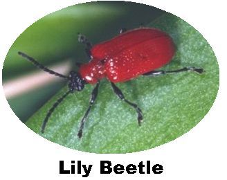 Record Lily Beetle