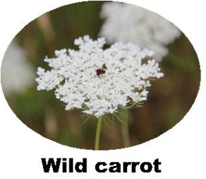 Record Wild Carrot