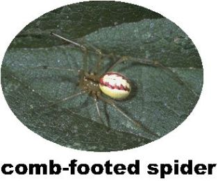 Record comb-footed spider