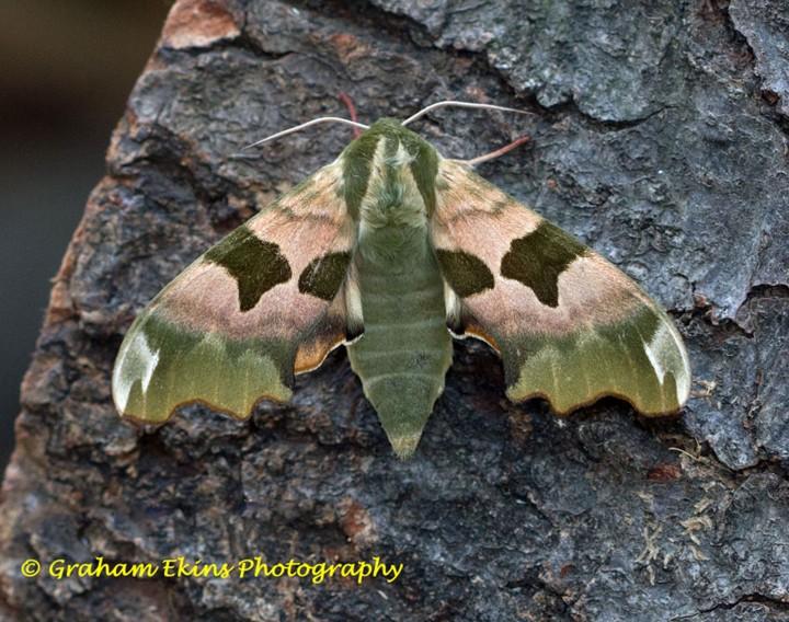 Lime Hawk-moth 10 Copyright: Graham Ekins
