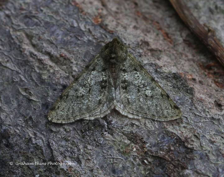 Pale Brindled Beauty  Phigalia pilosaria Copyright: Graham Ekins