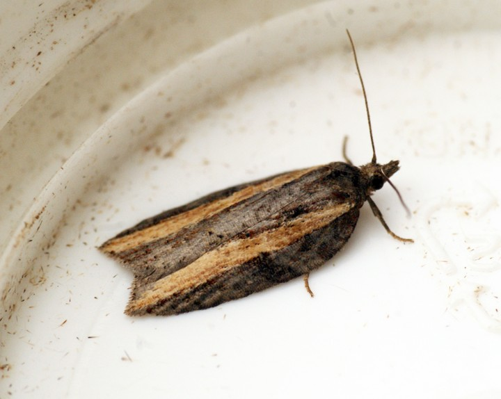 Acleris hastiana 1 Copyright: Ben Sale