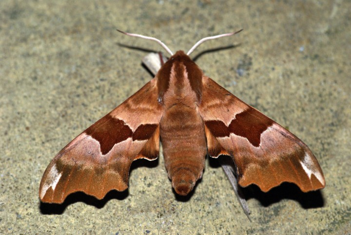 Lime Hawk-moth f.brunnea Copyright: Ben Sale