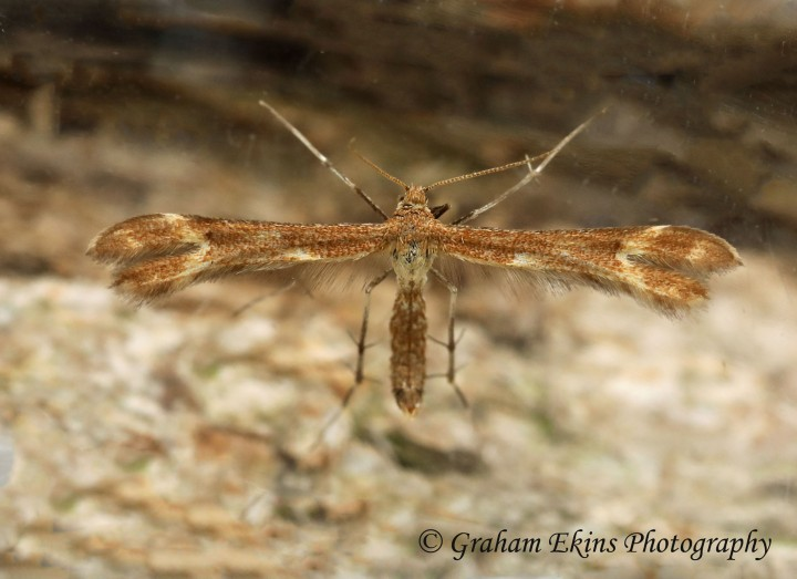 Marasmarcha lunaedactyla  Crescent Plume Copyright: Graham Ekins