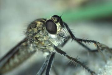Philonicus albiceps Copyright: Peter Harvey