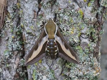 Bedstraw Hawk-moth Hyles galii 14 August 2020 Copyright: Gavin Price