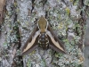 Bedstraw Hawk-moth Hyles galii 14 May 2020 Copyright: Gavin Price