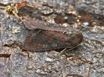 Bright-line Brown-eye  Lacanobia oleracea Copyright: Graham Ekins
