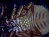 Chernes cimicoides female underside with eggs Copyright: Simon Taylor