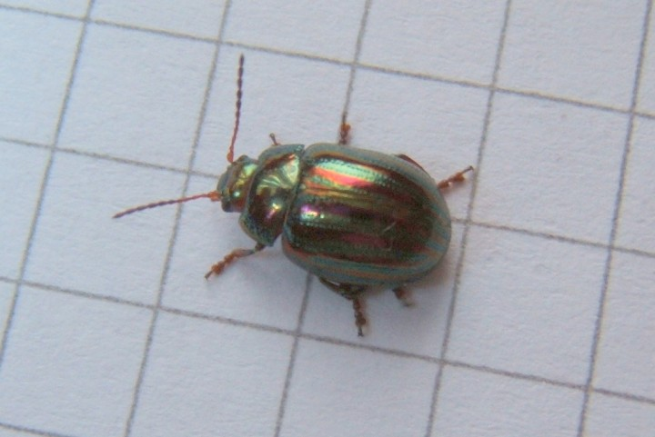 Rosemary Beetle Copyright: Peter Pearson