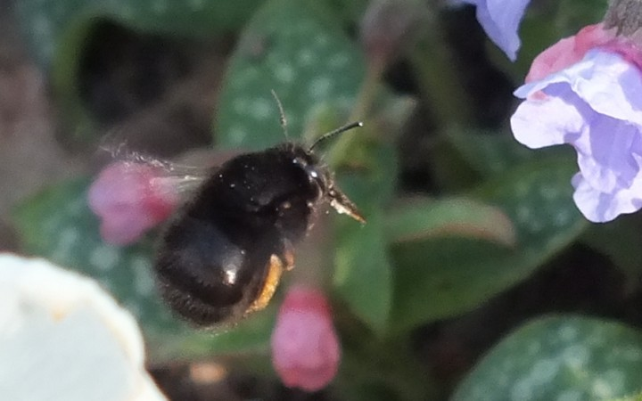 Hairy-footed Flower bee Copyright: Peter Pearson