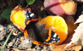 Red Admiral on orange Copyright: Peter Pearson