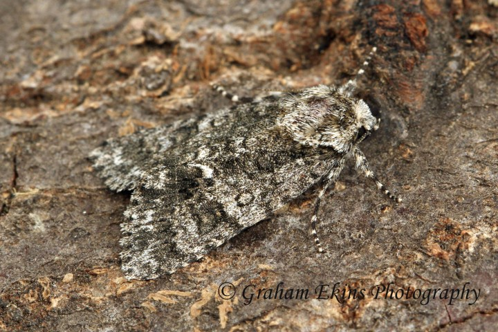 Acronicta rumicis  Knotgrass Copyright: Graham Ekins