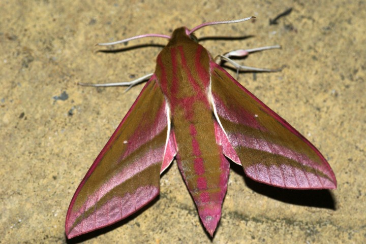 Elephant Hawk-moth 2 Copyright: Ben Sale