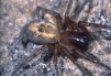 Amaurobius similis Copyright: Peter Harvey