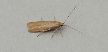 Coleophora gryphipennella Copyright: Graham Ekins