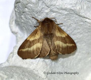 Malacosoma castrensis Ground Lackey female Copyright: Graham Ekins