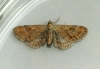 Plain Pug  Eupithecia simpliciata Copyright: Graham Ekins