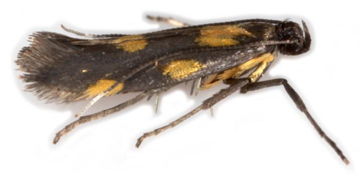 Euspilapteryx auroguttella Copyright: Chris Lewis
