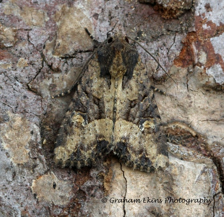 Common Rustic   Mesapamea secalis Copyright: Graham Ekins