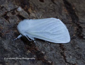 Leucoma salicis White Satin 1 Copyright: Graham Ekins