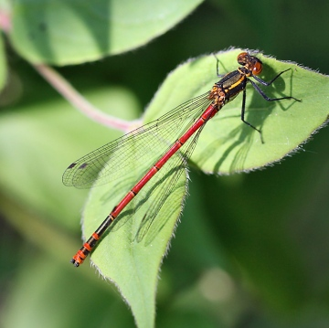 Large red damselfly Copyright: Geoff Vowles