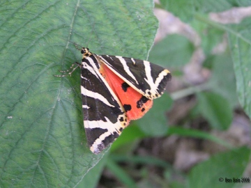 Jersey Tiger 2 Copyright: Ben Sale