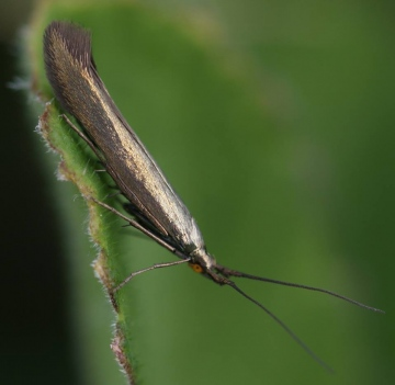 Coleophora amethystinella Copyright: Robert Smith