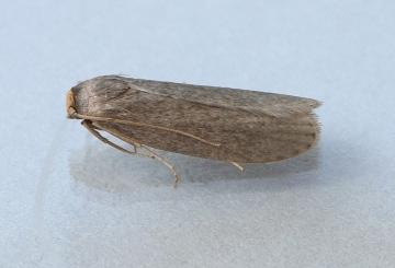 Lesser wax Moth 2 Copyright: Graham Ekins