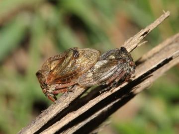 Centrotus cornutus male and female. Copyright: Peter Furze