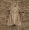 Small Wainscot   Denticucullus pygmina Copyright: Graham Ekins