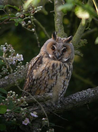 Long-Eared Owl Copyright: Malcolm Riddler