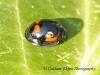 Exochomus quadripustulatus 3 Copyright: Graham Ekins