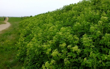 Alexanders Copyright: Peter Pearson