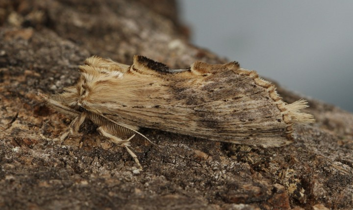 Pale Prominent 4 Copyright: Graham Ekins