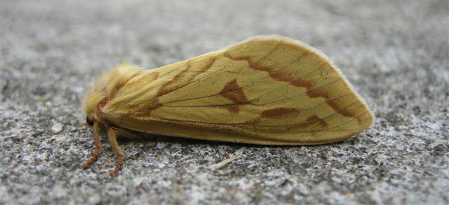 Ghost Moth. Copyright: Stephen Rolls