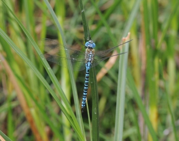 Southern Migrant Hawker Copyright: Graham Smith