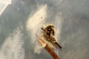 Vapourer Moth Caterpillar pupating Copyright: Ben Sale