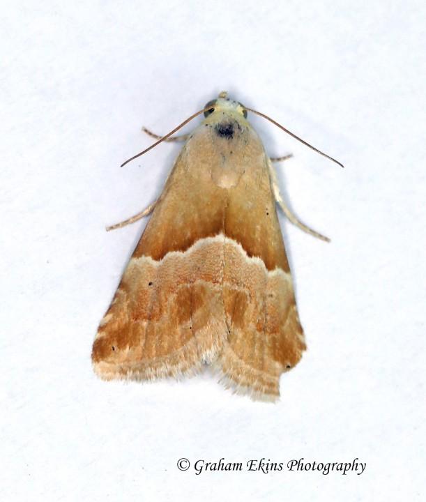 Eublemma parva Small Marbled Copyright: Graham Ekins
